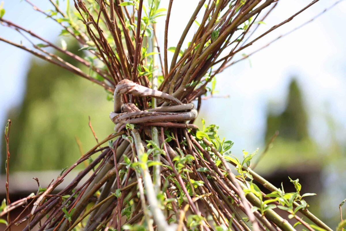 Austreibende Weide